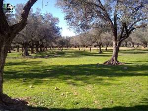 A beautiful orchard grove in Moadamiya