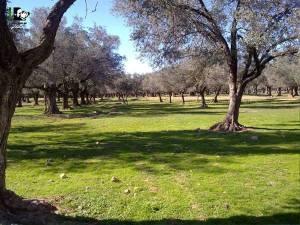 A beautiful orchard grove in Moadamiya